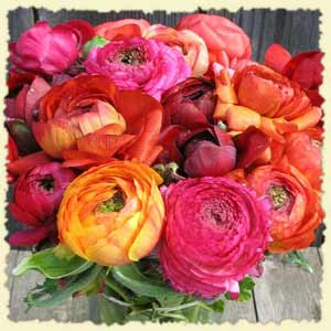 Multicolored Ranunculus